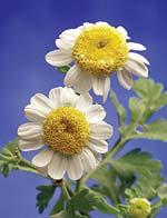 Nowatorski związek pyłku kwiatowego